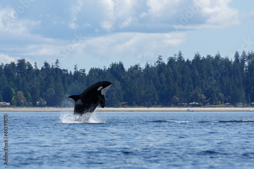 Jumping orca whale or killer whale - 66399170