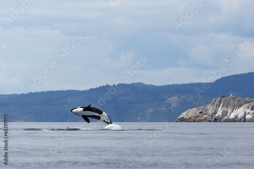 Jumping orca whale or killer whale - 66399190