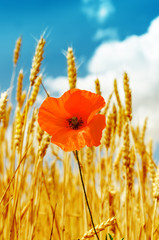 red poppy in golden harvest under blue sky