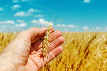 hand is holding golden barley over field