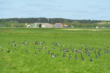 Brant gooses on Dutch wadden island
