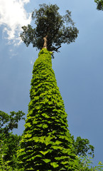 tree covered by ivy