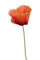 Red poppy. Iisolated on white. Photo realistic vector illustrati