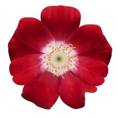 Bell flower. Vector illustration. Isolated on white