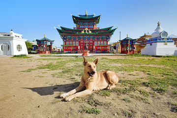 A dog near the Temple of Pure Land in Ivolginsky Datsan