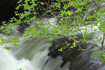 Flowering branch next to a waterfall, Nikko, Tochigi Prefecture, Japan