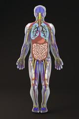 Corpo umano sezione organi interni vene arterie nervi