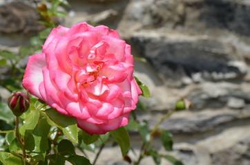 Volle Rosenblüte vor Natursteinmauer
