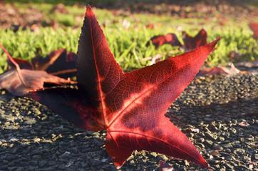 Autumn season maple leaf