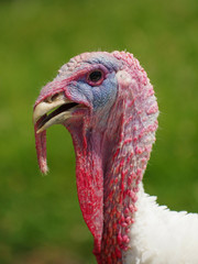 turkey white portrait
