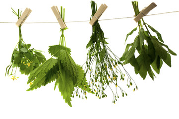 celandine herbs nettle   mint
