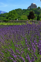 Lavender field near the ancient castle on the hill