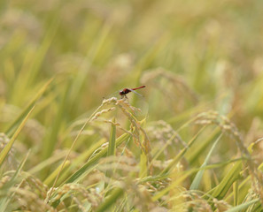Red dragonfly in a rice field