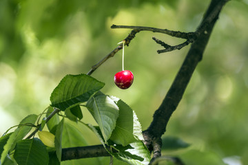 cherry on a tree in the garden