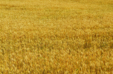 Golden wheat growing in a field