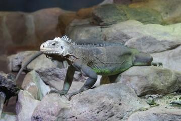 Lesser Antilles Iguana - Iguana delicatissima