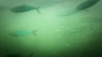 Fish Ladder Underwater