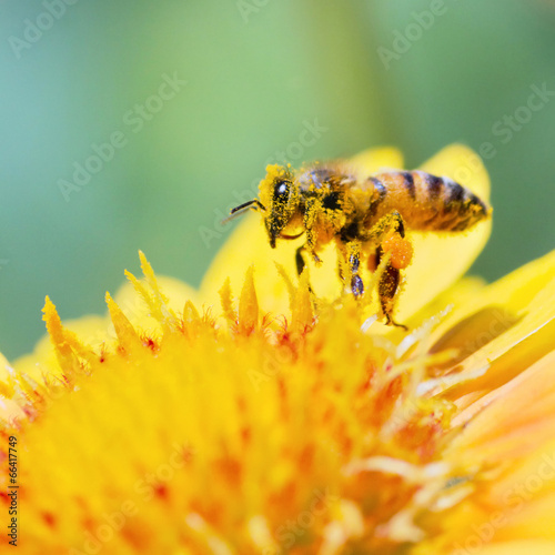 Honeybee - 66417749