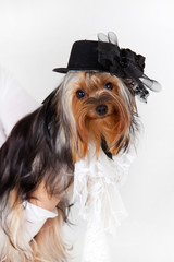Yorkshire Terrier with hat