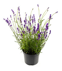 lavender in pot isolated on white