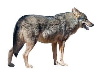 Iberian wolf on white background