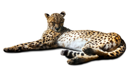 lying Cheetah over white background
