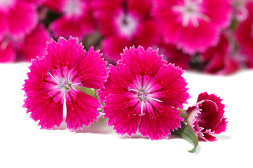 beautiful Dianthus barbatus flowers intensely pink isolated