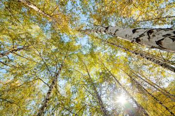 Siver birch trees