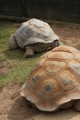 Aldabra Giant Tortoise - Aldabrachelys gigantea