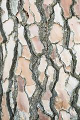 Stone pine bark texture