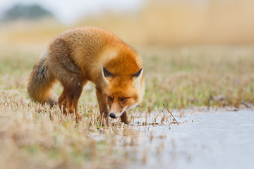 red fox in the water