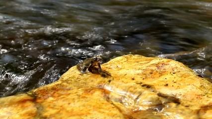 水の流れとカジカガエル