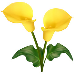 Two yellow calla flowers