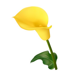 Yellow calla flower