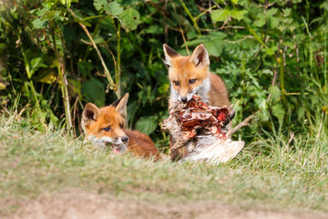 two red fox cubs with prey
