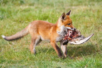 red fox cub with prey