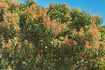 manguier en fleurs