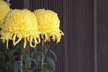 Close Up Image of Yellow Chrysanthemum