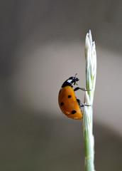 uğur beöceği