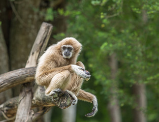 Gibbon in the jungle