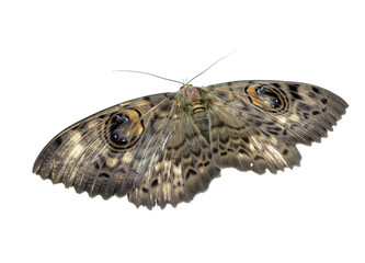 moth isolated on white