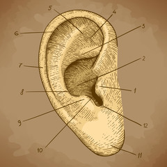 vector engraving human ear in retro style