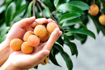 hands protect lychee fruits grow on tree