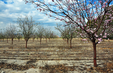 Flowering garden trees, Almond