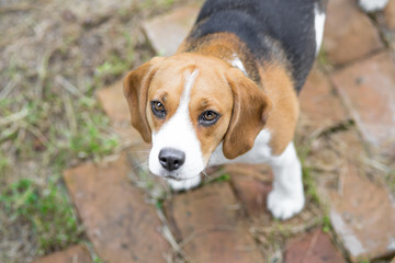 Cute beagle puppy dog looking up