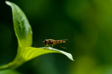 Hoverfly resting on dogwood leaf