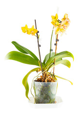 Yellow orchid. Room flower in transparent flowerpot