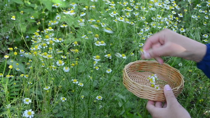 woman hand pick chamomile herb flower bloom to wicker dish