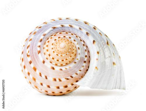 Sea shell - 66437130