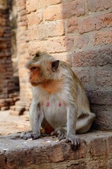 Monkey in Lopburi Thailand
